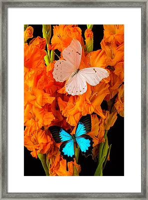 Orange Glads With Two Butterflies Framed Print by Garry Gay