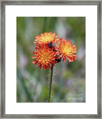 Orange Hawkweed Framed Print by Randy Bodkins