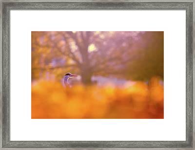 Orange Haze -blue Heron In Autumn Scene Framed Print