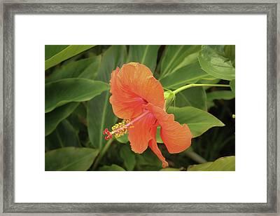 Orange Hibiscus Framed Print