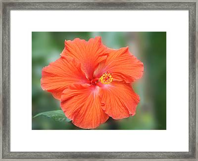 Orange Hibiscus Flower Framed Print