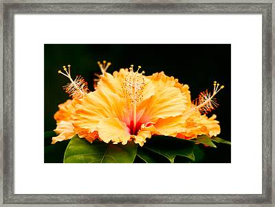 Orange Hibiscus Framed Print