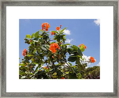 Orange Hibiscus With Fruit On The Indian River In Florida Framed Print by Allan  Hughes