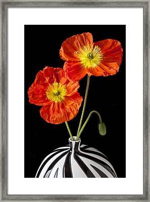 Orange Iceland Poppies Framed Print by Garry Gay