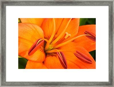 Orange II Framed Print by Amanda Kiplinger
