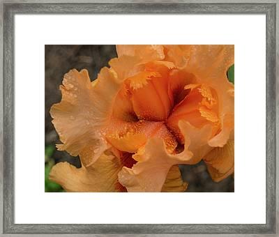 Orange Iris Center Framed Print