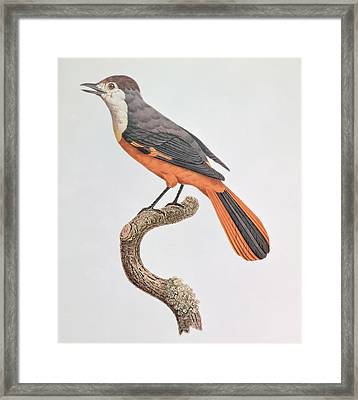 Orange Jay Framed Print