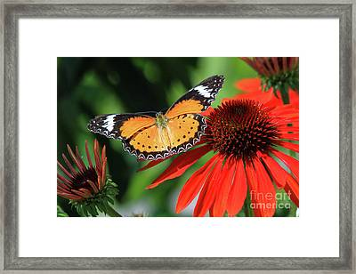 Orange Lacewing Framed Print