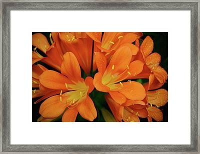Orange Lilies No. 1-1 Framed Print