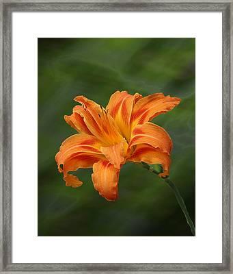 Orange Lilly Framed Print by Rick Friedle