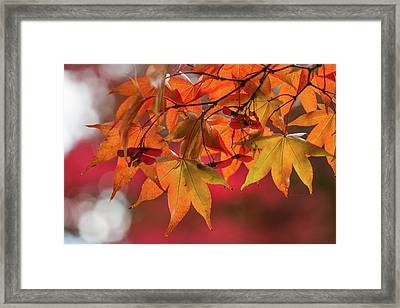 Orange Maple Leaves Framed Print