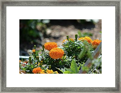 Orange Marigolds  Framed Print by Ruth Housley
