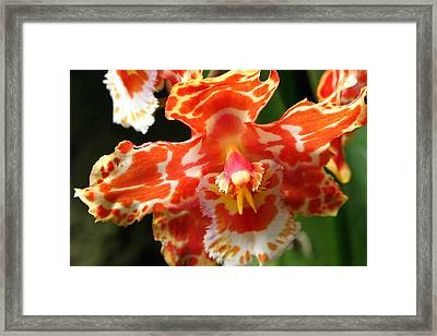 Orange Orchid Framed Print by Laurel Talabere