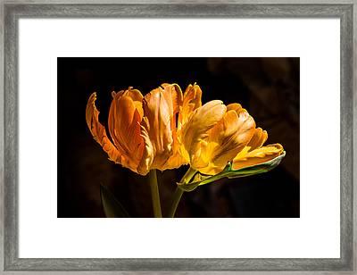 Orange Parrot Tulips 1 Framed Print