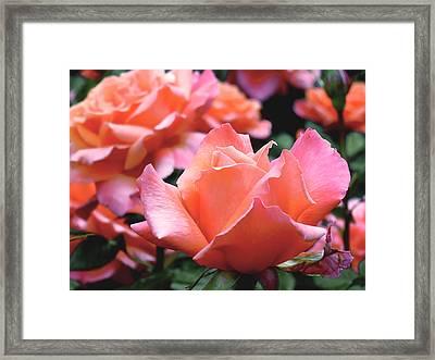 Orange-pink Roses  Framed Print