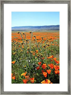 Orange Poppies And Fiddleneck- Art By Linda Woods Framed Print by Linda Woods