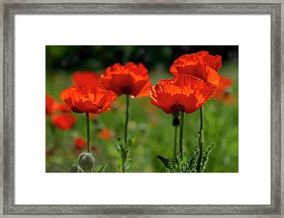 Orange Poppies In The Sunshine Framed Print