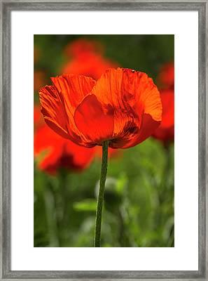 Orange Poppy Beauties Framed Print