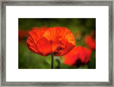 Orange Poppy Bloom Framed Print