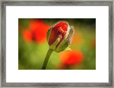 Orange Poppy Bud Framed Print