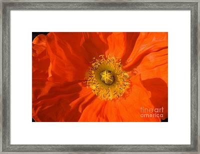 Orange Poppy Flower Framed Print
