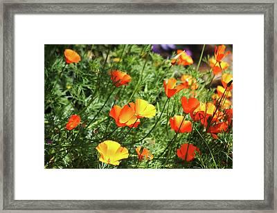 Orange Poppy Flowers . R1269 Framed Print by Wingsdomain Art and Photography