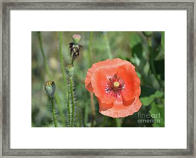 Orange Poppy  Framed Print by Ruth Housley