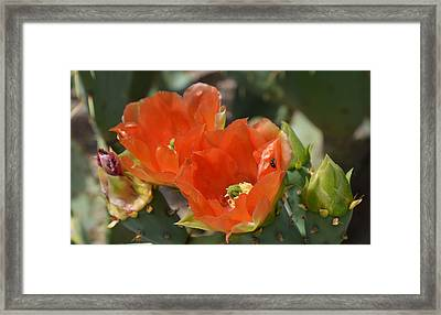 Orange Prickly Pear Blossoms  Framed Print by Aimee L Maher Photography and Art Visit ALMGallerydotcom