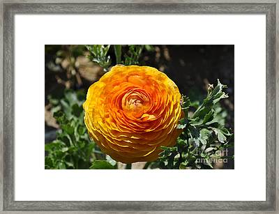 Orange Ranunculus Framed Print