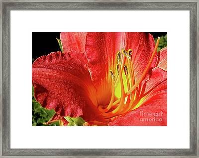 Orange-red Day Lily Framed Print by Kaye Menner