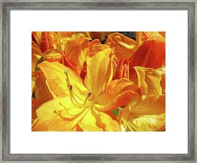 Orange Rhodies Flowers Art Rhododendron Baslee Troutman Framed Print