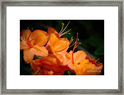Orange Rhododendron Crush Framed Print