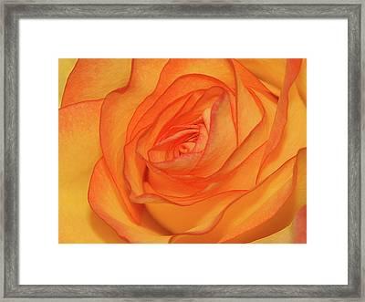 Orange Rose Framed Print by Graham Taylor