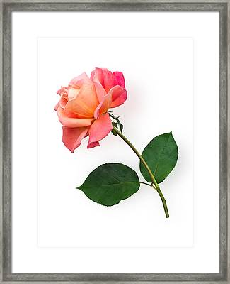 Orange Rose Specimen Framed Print