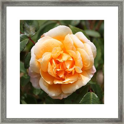 Orange Rose Square Framed Print by Carol Groenen