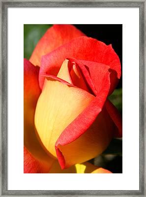 Orange Rosebud Framed Print