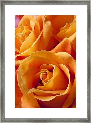 Orange Roses Framed Print by Garry Gay