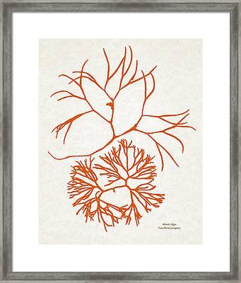 Orange Seaweed Marine Art Furcellaria Fastigiata Framed Print by Christina Rollo