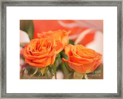 Orange Sherbet Roses Framed Print