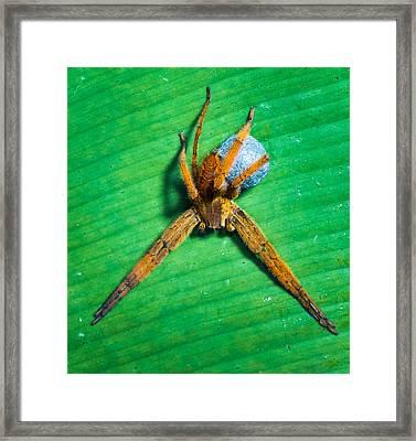 Orange Spider On Leaf, Sarapiqui, Costa Framed Print by Panoramic Images