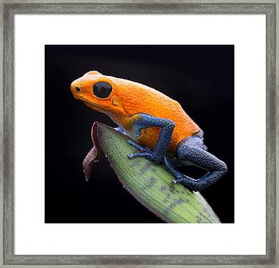Orange Strawberry Poison Dart Frog Framed Print by Dirk Ercken