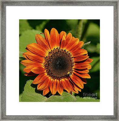 Orange Sunflower Framed Print