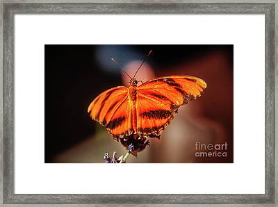 Orange Tiger Butterfly Framed Print by Robert Bales
