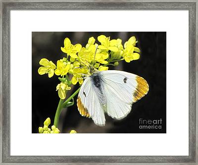 Framed Print featuring the photograph Orange Tip Butterfly by Jacqi Elmslie