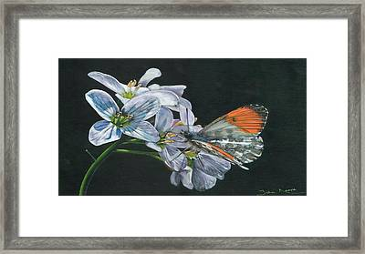 Orange Tip  Framed Print