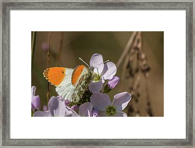 Orange Tip On Lady's Mantle Framed Print
