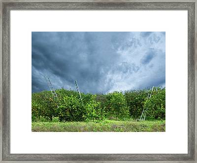 Orange Tree Framed Print by Carolyn Dalessandro