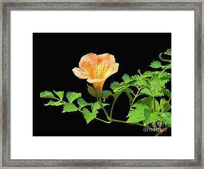 Orange Trumpet Flower Framed Print by Susan Lafleur