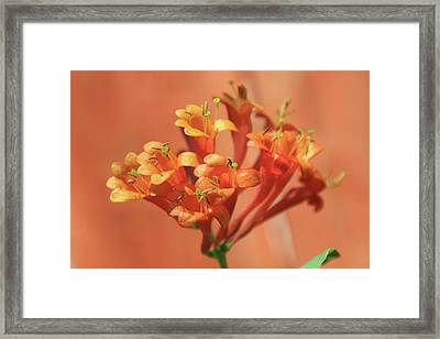 Orange Trumpet Honeysuckle Framed Print