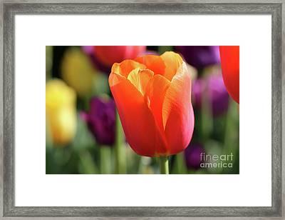 Orange Tulip In Franklin Park Framed Print